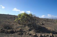 Pendula Balo oder Plomaca der Klasse Plocama, die zu den Kanarischen Inseln endemisch ist stockfotos