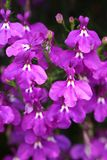Pendula erinus λουλουδιών καταρρακτών χρώματος Στοκ Εικόνα