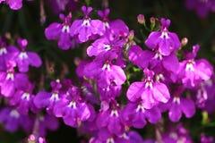 Pendula erinus λουλουδιών καταρρακτών χρώματος Στοκ εικόνες με δικαίωμα ελεύθερης χρήσης