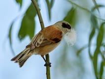 Penduline山雀在暂停的巢的建筑时 库存照片