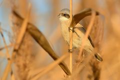 Penduline-mésange eurasienne - pendulinus de Remiz Images libres de droits
