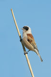 Penduline tit Stock Photography