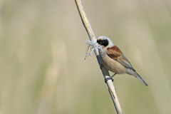 Penduline tit Stock Photo
