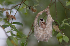 Penduline Tit royalty free stock images