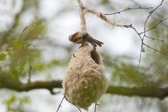 Penduline Tit na swój gniazdeczku fotografia stock