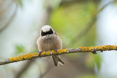 Penduline Tit. On a branch in spring Stock Photos