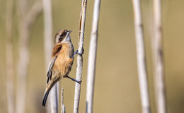 Penduline Tit on  Reed Stock Photography