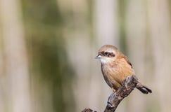Penduline Tit on Tree Branch Stock Photo