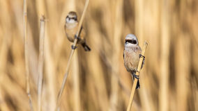 Penduline Tits on  Reed Stock Photos