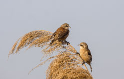 Penduline Tits on Top of Reed. Penduline tits (Remiz pendulinus) are looking at each other perching on top of reed Stock Image