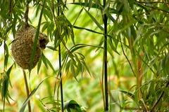 Pendulinus Remiz гнезда птицы стоковые изображения