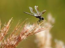 Pendurando sobre - a libélula Quatro-manchada da flâmula Imagem de Stock Royalty Free