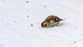 Pendure sobre, mim terá um olhar um passarinho pequeno de Siskin do pinho (pinus do Carduelis) procura sementes Fotos de Stock Royalty Free