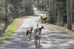Peneda Geres goats herd. Small herd of goats accompanied with his sheepdog and shepherd on a mountain road in the national park of Peneda Geres, north of royalty free stock photos