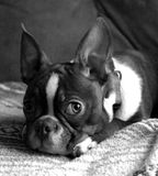 Peneloope taking a rest. Penelope the boston terrier laying around for a picture royalty free stock images