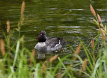 Penelope d'ana de canard de canard siffleur sur la rivière Image stock