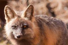 Penetrating gaze of an alert red fox, genus Vulpes. Penetrating gaze of an alert cross fox, a colour variant of the red fox, Vulpes vulpes Stock Photos