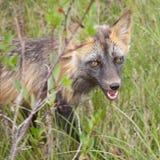 Penetrating gaze of an alert red fox genus Vulpes. Penetrating gaze of an alert cross fox, a colour variant of the red fox, Vulpes vulpes Stock Photo