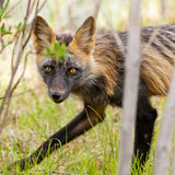 Penetrating gaze of an alert red fox genus Vulpes. Penetrating gaze of an alert cross fox, a colour variant of the red fox, Vulpes vulpes Royalty Free Stock Images