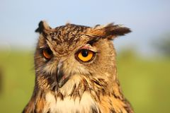 The penetrating gaze of the eagle owl. With yellow eyes and a protruding beak Royalty Free Stock Photography