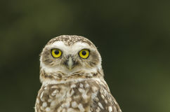 Penetrating gaze. Portrait of owl looking at camera with piercing gaze Royalty Free Stock Image