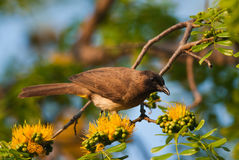 Bulbul looking Royalty Free Stock Photo