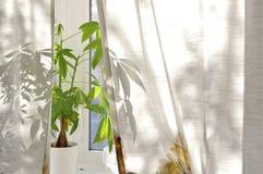 Pengarträdväxt på fönsterfönsterbräda royaltyfria bilder