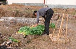 Penghou, China: Farmer Stacking Garlic Greens Stock Photo