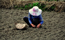 Penghou, China: Woman Planting Garlic Stock Image