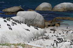 Pengion Colony. Cape Penguin Colony Royalty Free Stock Image