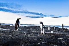 Pengions Gentu в Антарктике смотря один другого стоковые фотографии rf
