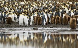 Pengiuin Colony Reflected. A crowd of King Penguin adults and their chicks reflects of the calm waters in the foreground Stock Photos