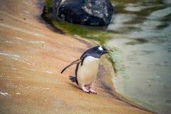 pengiun在一个动物园里准备好采取下潜在苏格兰 库存照片