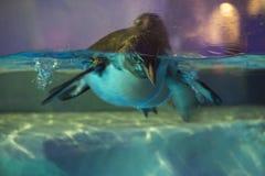 Pengiun游泳在香港海洋公园 库存图片