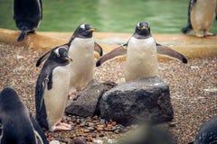 pengiuns三重奏准备好浴在一个动物园里在苏格兰 免版税图库摄影
