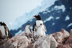 Penguin family. Mama Penguin and her 2 sons Royalty Free Stock Image