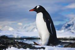 penguin βράχοι Στοκ Φωτογραφία