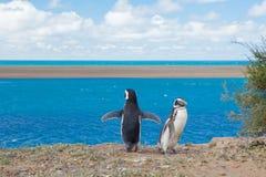 penguin δύο Στοκ εικόνα με δικαίωμα ελεύθερης χρήσης