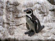 penguin ζωολογικός κήπος Στοκ Εικόνες