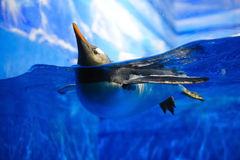 penguin κολυμπώντας στοκ φωτογραφίες