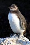 penguin κοντόχοντρος Στοκ Φωτογραφίες