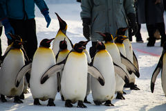 Penguin Μάρτιος στο ζωολογικό κήπο Asahiyama, Hokkaido στοκ φωτογραφία με δικαίωμα ελεύθερης χρήσης