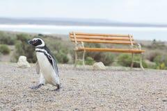 penguin περπατώντας Στοκ Εικόνες
