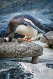Penguin που ψάχνει για τα τρόφιμα Στοκ εικόνα με δικαίωμα ελεύθερης χρήσης
