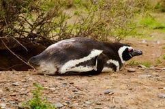 Penguin σε Punta Delgada σε PenÃnsula Valdés Στοκ Εικόνες