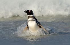 Penguin στο νερό Κύματα θάλασσας πουλιών playng Penguin που κολυμπά τα κύματα Πουλί θάλασσας στο νερό Ωκεάνιο κύμα Magellanic pen Στοκ Φωτογραφίες