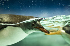 penguin υποβρύχιος Στοκ Εικόνα