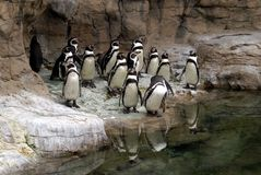 Penguin. Group of Pengiuns at the St. Louis Zoo Royalty Free Stock Photos