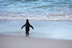 Penguin. Going to the water to have a bath, in South Africa royalty free stock photos