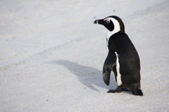 Penguin. Beautiful Black-footed Penguin standing on the beach in South africa stock photos
